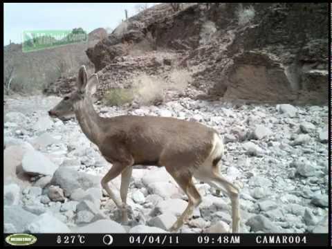 Cacería fotográfica de Puma y Venado Bura en Sierra La Giganta - YouTube