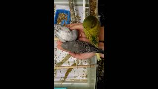 Птенцы волнистых попугаев, Чехи, ВВП