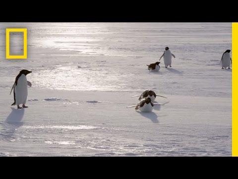 All About the Adélie Penguin | Continent 7: Antarctica