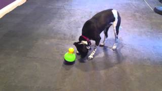 Does Your Dog Eat Fast? | Interactive Dog Toy | On The Ball K9 Training