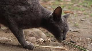 korat cat    (korat cat bareed)