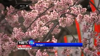 NET24 - Bunga Sakura Bermekaran di Tokyo Jepang
