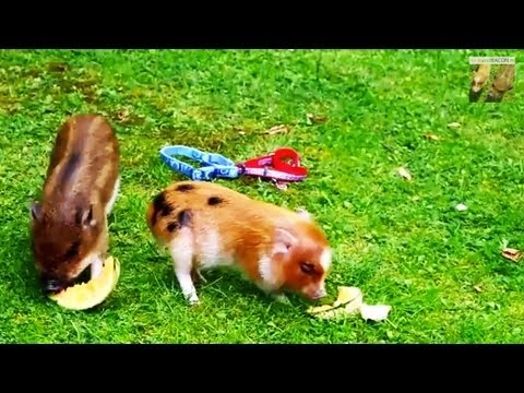 how to get a show pig to eat