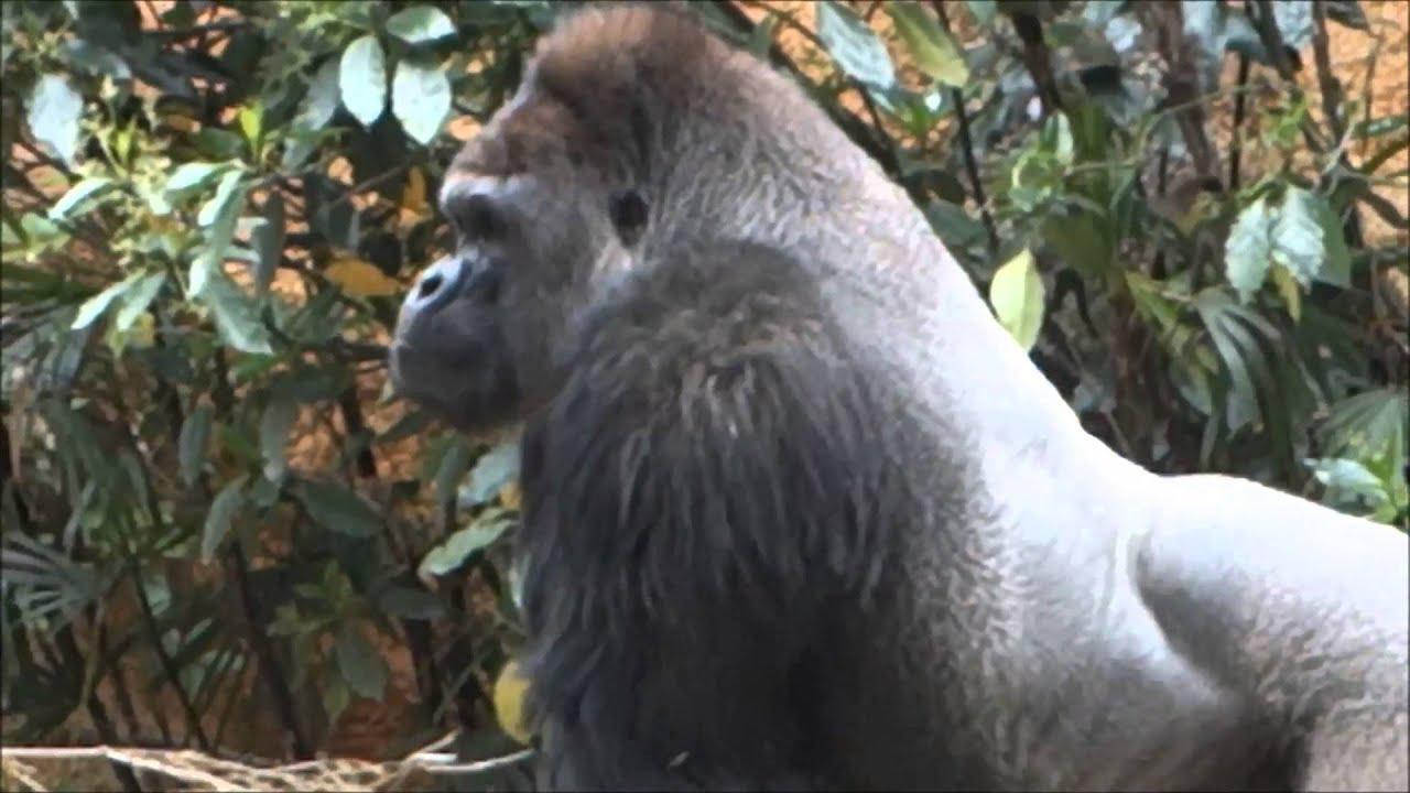 Muscular gorilla(Macho gorilla) - YouTube