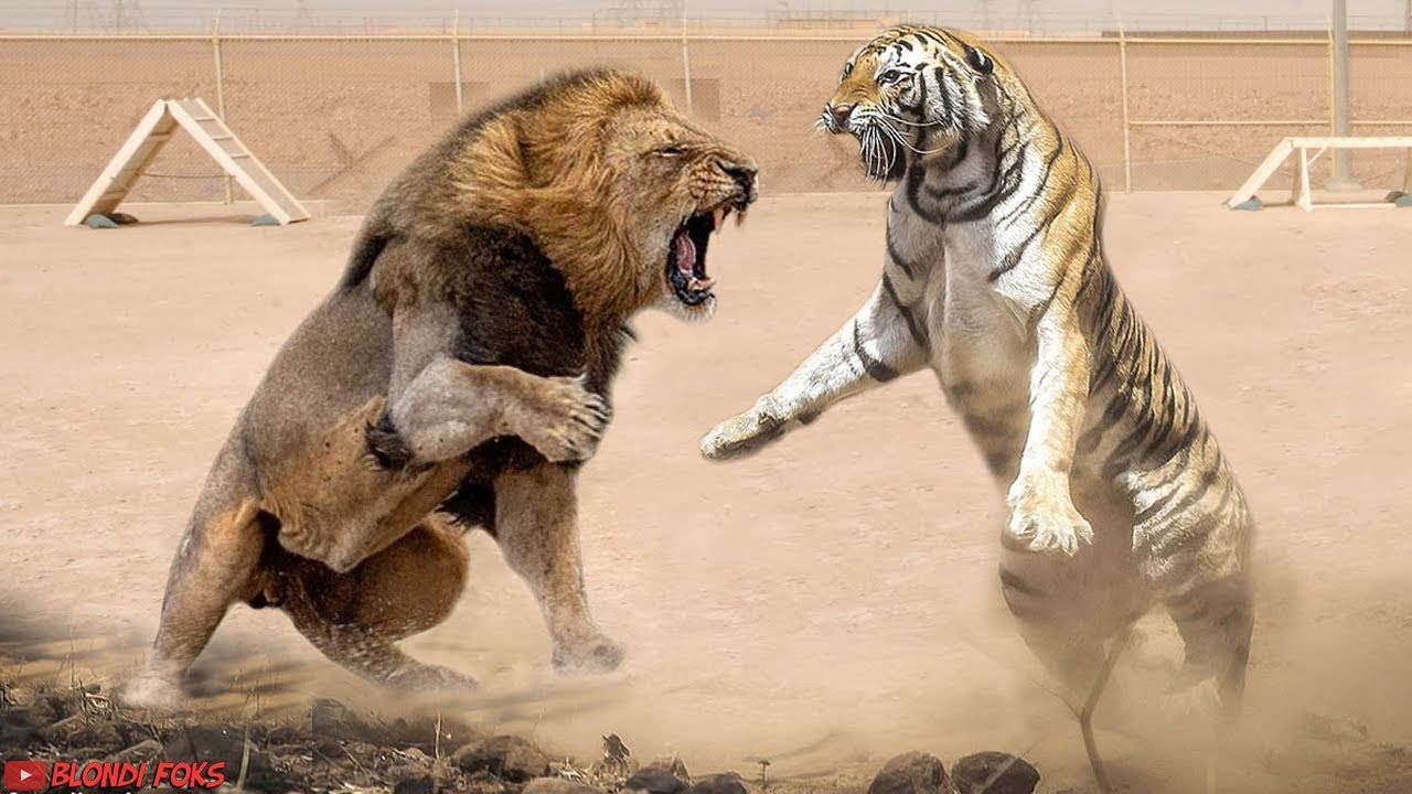 Download Lion VS Tiger - Tiger VS Lion - Blondi Foks