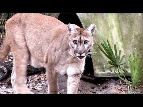 Cougar Love aflevering 3 from YouTube · Duration:  32 seconds