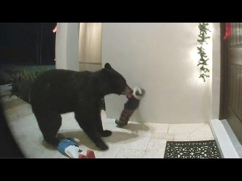 Deuce - Florida Bear Caught On Camera Knocking Over Xmas Decorations