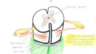 Colonne vertébrale, moelle spinale, nerfs et méninges