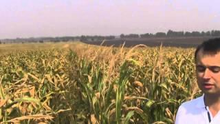 Осмотр участка гибридизации кукурузы НС 101