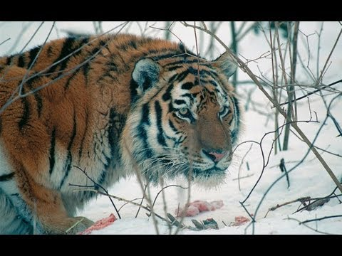 Amur Tiger in the Third Millennium Full-HD