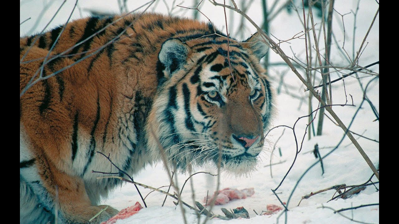 amur tiger in the