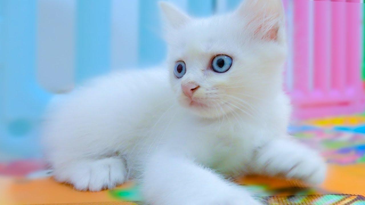 Chú mèo con, rửa mặt như mèo - Nhạc thiếu nhi sôi động vui nhộn