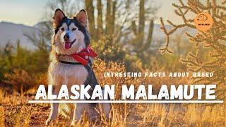 The Alaskan Malamute Dog