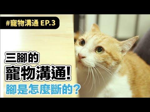【三腳的寵物溝通!腳是怎麼斷的?】志銘與狸貓
