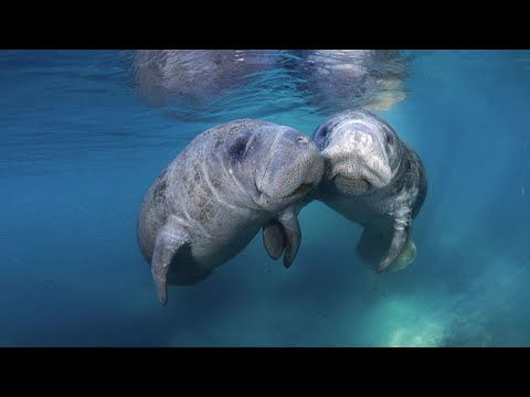 Florida Travel: How to Swim With Manatees in Crystal River