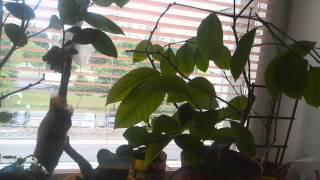 КОМНАТНЫЙ ЛИМОН. ВРЕДИТЕЛИ.(Обработка цитрусовых растений препаратом от вредителей., 2015-06-27T04:39:17.000Z)
