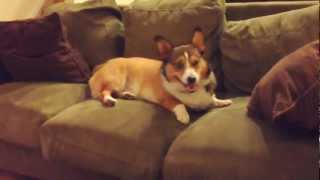 Bandit The Corgi Has No Personality