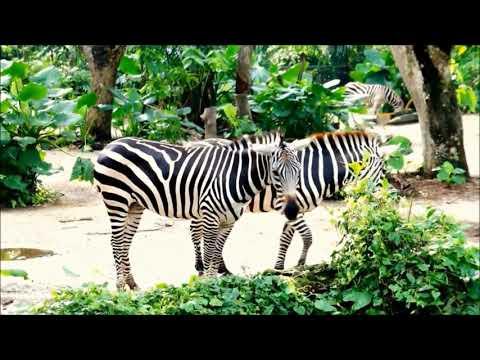 Wild animal - Zebra video