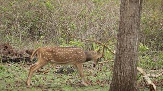 Deer In Head-On Battle With Tree Branch