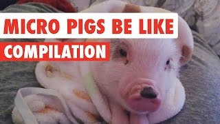 Micro Pigs Be Like Video Compilation 2017