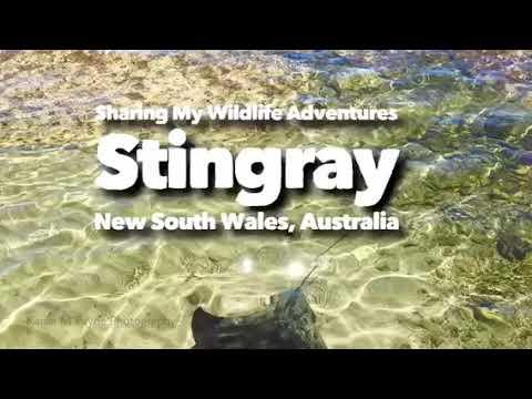 Sharing My Wildlife Adventures - Stingray, New South Wales, Australia