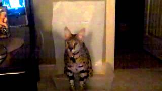 Potty training a serval