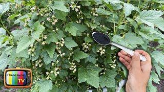 Всего три ложки под смородину после цветения Ягода прёт крупная проверено годами