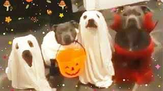 🎃Pitbull Dog Funny Halloween Costume ♣Trick or Treat son of a b. 🎃🎃🎃
