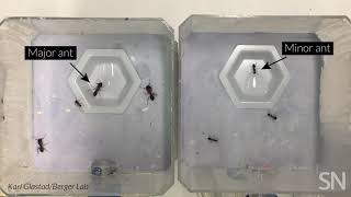 See warrior ants acting like forager ants | Science News