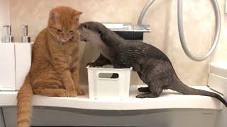 カワウソさくら 高い所には登れないが水に入ることでマウントをとるカワウソ otter that appeals to enter the water