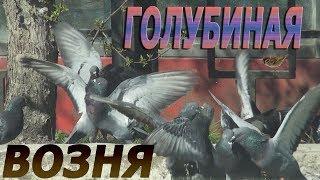 Фирменная двоечка 🐦😃  Голуби дерутся Pigeons fight