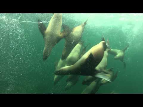 Stellar Sea Lions and the GoPro dive!