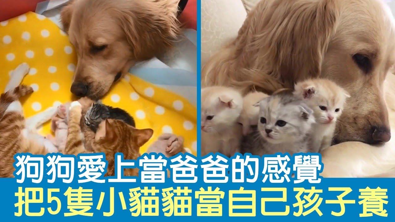 狗狗愛上當爸爸的感覺 把5隻小貓貓「當自己孩子養」:最幸福大家庭!   狗狗故事
