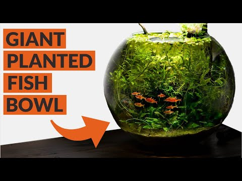 Heavily Planted Fish Bowl: 4 MONTH UPDATE
