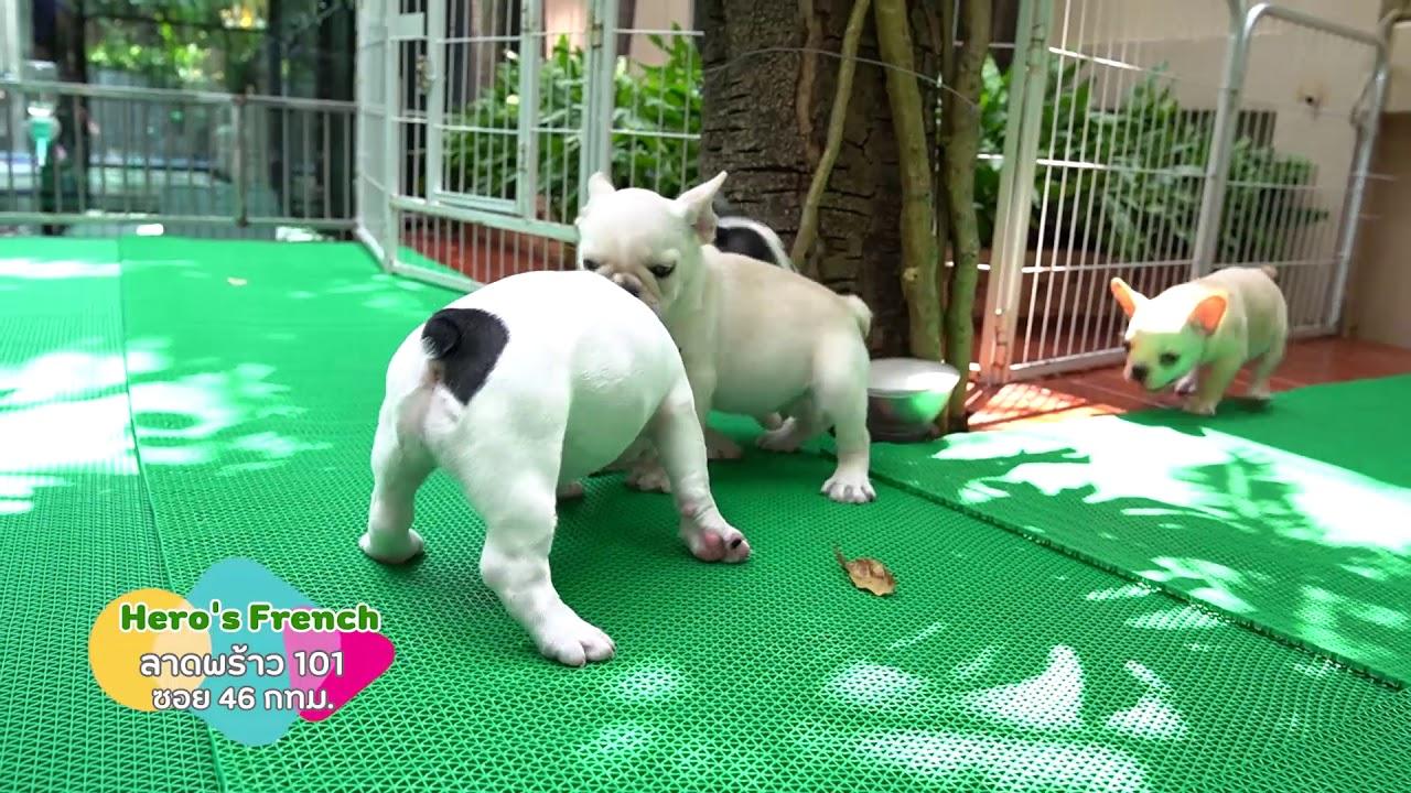 Frenchie - French bulldog - เด็ก ๆ พร้อมย้ายบ้าน เฟรนซ์บลูด็อก สายเลือดแชมป์ รับรองหุ่นดีทุกตัว