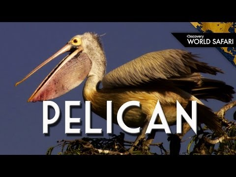 Everything You Wanted To Know About Pelicans
