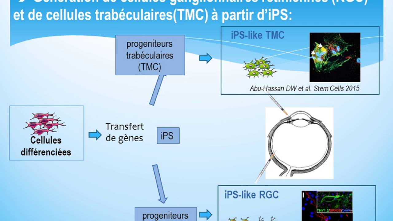 cellules souches ips