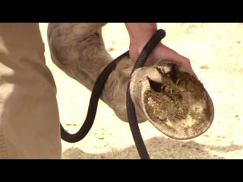 How to Pick up and Clean Horse Feet