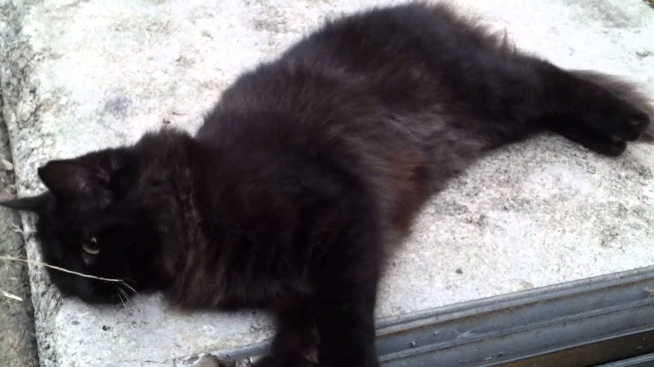 Black Cat Red Undercoat