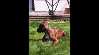 6 Month Old Brindle Boxer Puppy
