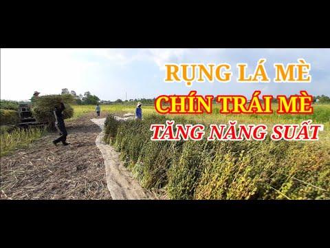 RỤNG LÁ MÈ - CHÍN TRÁI MÈ - TĂNG NĂNG SUẤT (PGS TS TRẦN VĂN HAI và CTV chuyển giao KHKT)