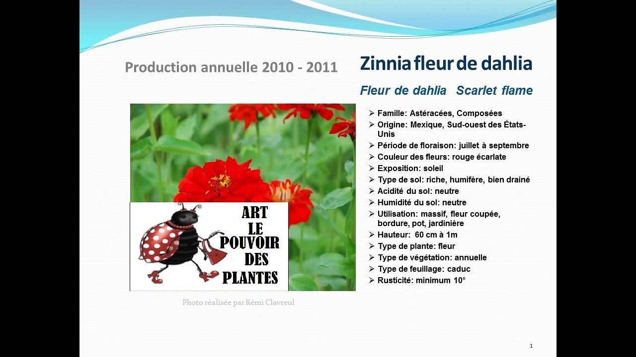 zinnia fleur de dahlia scarlet flame: plante annuelle - youtube