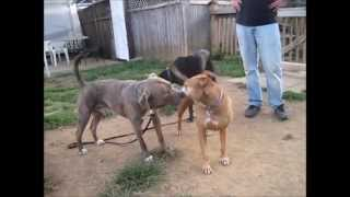 Stannis Dog Socialization At Misguided Mutts Dog Behvaior Training