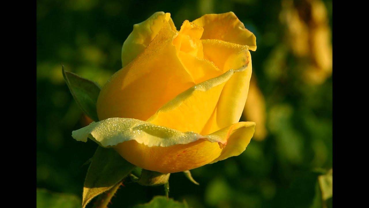 Ада, картинки желтые цветы анимация