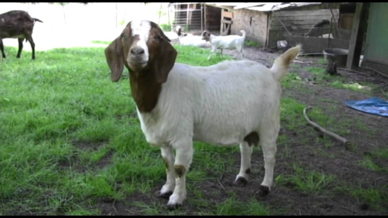 3 Year Old Twin Female Boer Goats For Sale