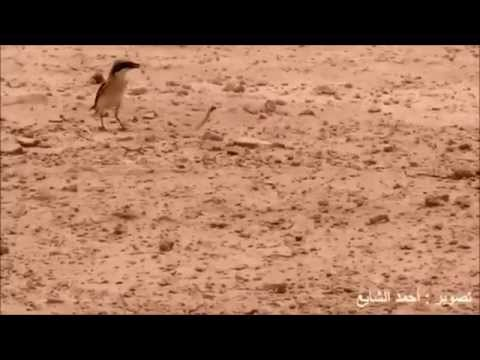 A Snake VS a Shrike bird.