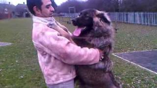 Caucasian mountain dog(sarplaninac,lllyrian Albanian dog) Puppy in UK