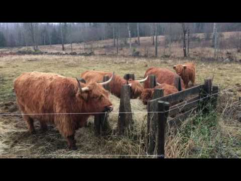 Cow Update - Q&A - Cattle Breed, Fences, Names, Cross Breeding
