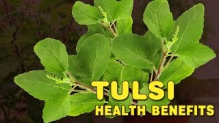 Health benefits of Tulsi   Holi Basil Benefits   Spiritual Videos