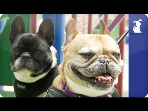 bulldog utube doglopedia french bulldog guide youtube 1667